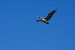 Pelican against blue sky. A pelican is soaring above against a clear blue sky Stock Photo