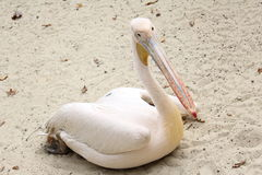 Pelican albino. Pelican is an albino lying on the sand. Picture taken at the zoo Royalty Free Stock Image