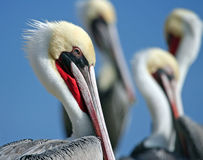 Pelican Alley. California pelicans sunning on the rocks on a San Diego beach royalty free stock image