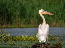 Pelican alone on land watching above Danube Delta stock photography