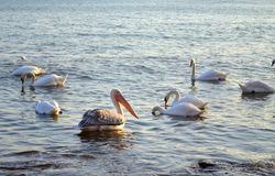 Pelican amidst swans flock in sea Royalty Free Stock Image