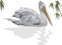 Free Pelican And Reflection Isolated On White Stock Image - 35403491