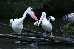Pelican Antics Stock Images