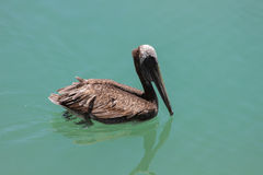 Pelican on aqua Stock Images