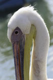 A Pelican arching his neck Royalty Free Stock Images