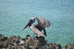 Pelican in Aruba Landing on Lava Rock Stock Photos