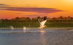 Free Pelican At Sunset Taking Off With A Water Splash In The Danube Delta Stock Photo - 151427660