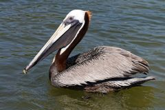 Pelican in Mexico 6 royalty free stock photo