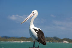 Pelican. Australian pelican waiting for the catch Stock Photography
