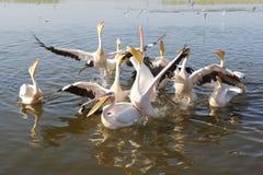 Pelican, Awassa, Ethiopia, Africa Stock Photos