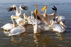 Pelican, Awassa, Ethiopia, Africa Royalty Free Stock Images