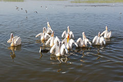 Pelican, Awassa, Ethiopia, Africa Royalty Free Stock Photos