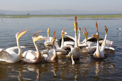 Pelican, Awassa, Ethiopia, Africa Royalty Free Stock Images