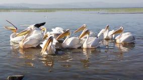 Pelican, Awassa, Ethiopia, Africa Stock Images