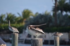 Pelican Backbend Stock Images