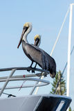 Pelicans Balancing On Boat. Brown Black and White Pelicans with a Yellow Head Red Beak and Green Eyes Balances On the Railing of a Boat Royalty Free Stock Photo