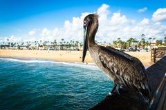 Pelican on the Balboa Pier, in Newport Beach  Stock Image