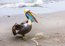 Pelican on Ballestas Islands,Peru  South America in Paracas National park. Stock Images