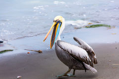 Pelican on Ballestas Islands,Peru  South America in Paracas National park Royalty Free Stock Image