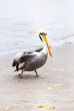 Pelican on Ballestas Islands,Peru  South America in Paracas National park Stock Photography