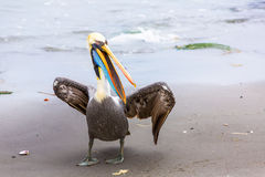 Pelican on Ballestas Islands,Peru  South America in Paracas National park. Royalty Free Stock Photo