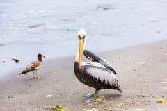 Pelican on Ballestas Islands,Peru  South America in Paracas National park Stock Photo
