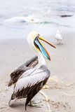 Pelican on Ballestas Islands,Peru  South America in Paracas National park. Royalty Free Stock Photography