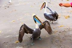 Pelican on Ballestas Islands,Peru  South America in Paracas National park. Stock Photo