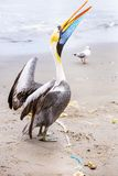 Pelican on Ballestas Islands,Peru  South America in Paracas National park. Stock Image