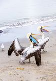 Pelican on Ballestas Islands,Peru  South America in Paracas National park Royalty Free Stock Photography