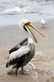 Pelican on Ballestas Islands,Peru  South America in Paracas National park. Royalty Free Stock Image