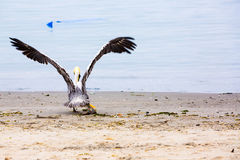 Pelican on Ballestas Islands,Peru South America in Paracas National park. Flora and fauna Royalty Free Stock Images