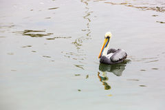 Pelican on Ballestas Islands,Peru South America in Paracas National park. Flora and fauna Royalty Free Stock Photo