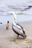 Pelican on Ballestas Islands,Peru South America in Paracas National park. Flora and fauna Stock Photography