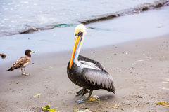 Pelican on Ballestas Islands,Peru South America in Paracas National park. Flora and fauna Stock Image