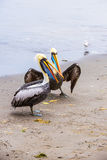 Pelican on Ballestas Islands,Peru South America in Paracas National park. Flora and fauna Stock Images