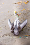Pelican on Ballestas Islands, South America in Paracas National park.Flora and fauna Royalty Free Stock Photo