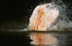 Pelican in a bath. White pelican bathing in a pool Royalty Free Stock Images