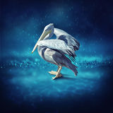 Pelican bathe in the rain Stock Photos