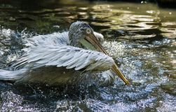 Pelican bathing Stock Photo