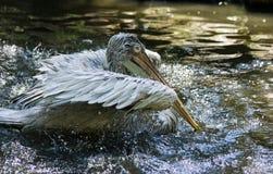 Pelican bathing Stock Photo