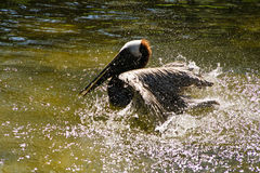 Pelican splashing. A pelican splashes its wings whilst bathing in a pond Stock Images