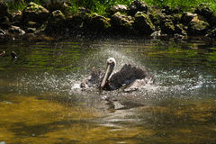 Pelican bird bathing in pond. Or lake in countryside Stock Image