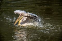 Pelican bathing and flapping his wings. royalty free stock images