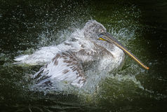 A pelican bathing Stock Images