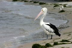 Pelican on Beach Royalty Free Stock Images