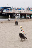 Pelican beach. Peruvian Pelicans (Pelecanus thagus) at the beach in Paracas Reserve, Peru Royalty Free Stock Photography