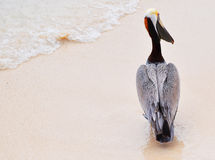 Pelican on the Beach Royalty Free Stock Photos