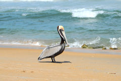 Pelican Beach. Pelican walking on the beach in Cape Hatteras stock image