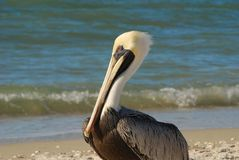 Pelican on a beach Royalty Free Stock Image